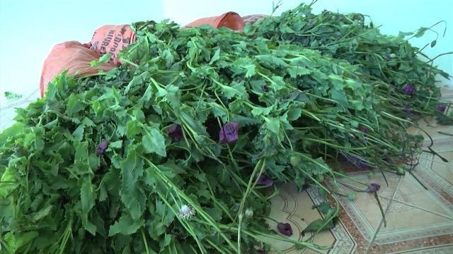 Tin tức 24h: Lào Cai triệt phá hơn 300m2 cây thuốc phiện trồng trái phép