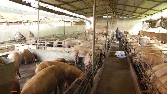 Tin Tức 24h Mới Nhất Hôm Nay: Lợn sẽ khan hiếm sau đợt rớt giá?