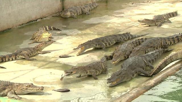 Tin Tức 24h: Sau chuối, lợn… cá sấu cũng cần được giải cứu