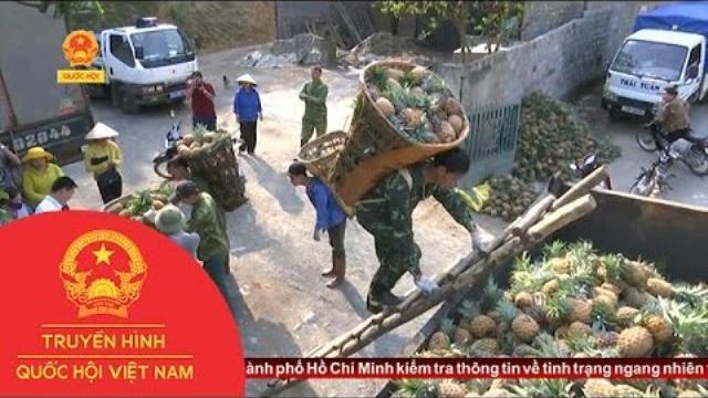 Thời sự - Lào Cai: Dừng thu mua dứa hỏng cho dân