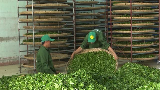 Tin Tức 24h Mới Nhất: Chè Sơn La hướng tới thị trường xuất khẩu