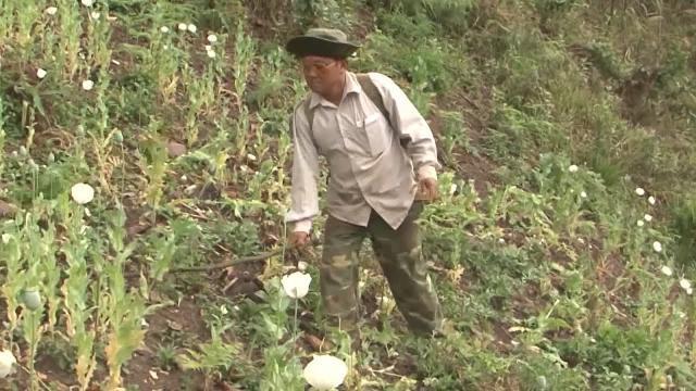 Lai Châu: Tà Tổng nỗ lực phòng ngừa, phá nhổ cây thuốc phiện