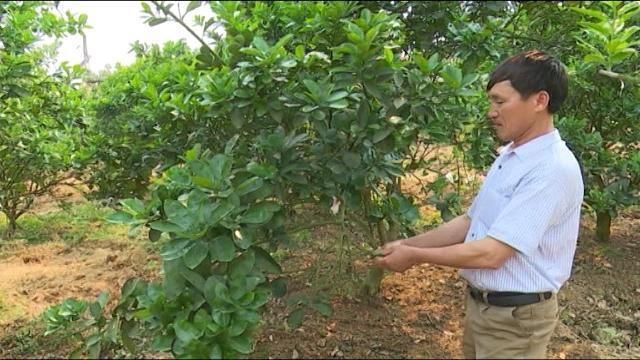 Tin Tức 24h: Hàng trăm héc ta bưởi Diễn không đậu quả ở Bắc Giang