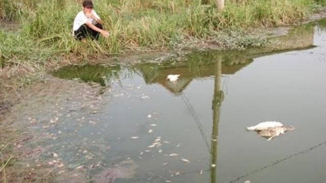 Cá chết, lúa cháy bất thường tại KCN Quảng Trị