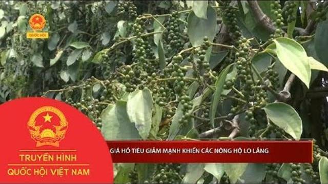 Thời sự - Giá hồ tiêu giảm mạnh khiến các nông hộ lo lắng