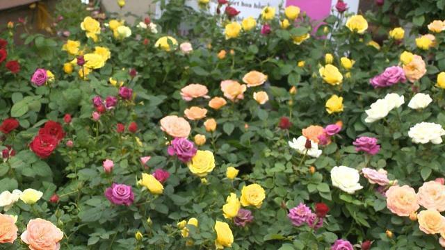 Lên phương án bảo vệ 1.680 cây hoa hồng trong lễ hội hoa hồng Bulgaria