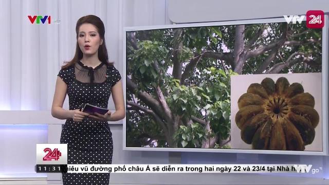 Thêm 40 trẻ bị ngộ độc do ăn phải quả cây ngô đồng | VTV24