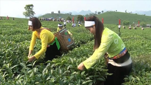 Tin Tức 24h: Sơn La gắn trồng chè với phát triển kinh tế, du lịch