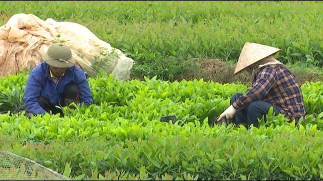 Tin Tức 24h: Bắc Giang buông lỏng quản lý giống cây lâm nghiệp