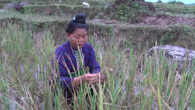 Tin Tức 24h mới nhất: Lai Châu mất trắng gần 100 héc ta lúa
