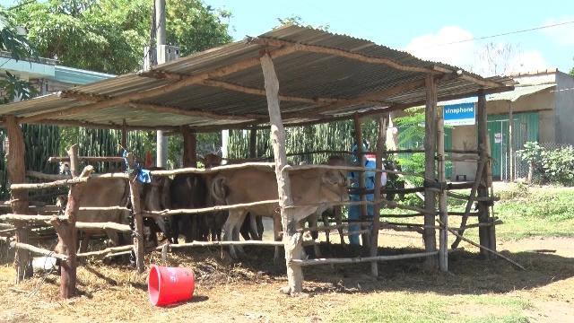 Kon Tum xuất hiện dịch lở mồm long móng trên đàn gia súc