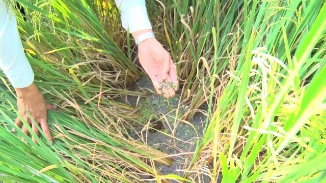 Hàng ngàn hecta lúa đông xuân bị rầy nâu gây ở Quảng Bình