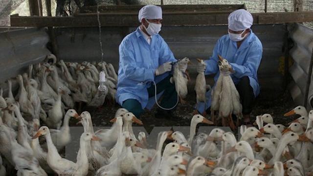Tin Tức 24h: Bùng phát dịch cúm gia cầm H5N1 tại Đác Nông