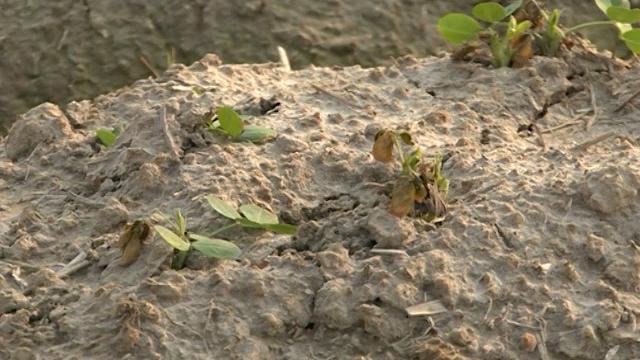 Bắc Giang: Nhiều diện tích lạc xuân bị chết rút tại huyện Lục Nam