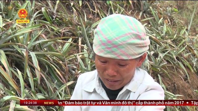 Thời sự - Lào Cai: Hàng chục héc ta dứa đến kỳ thu hoạch bị mất trắng