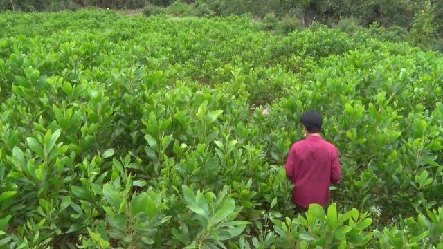 Hơn 20,5 tỷ đồng trồng rừng thay thế dự án chăn nuôi bò thịt chất lượng cao ở Phú Yên