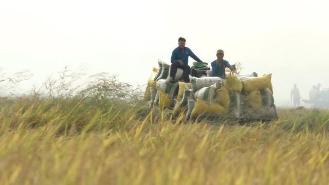 Tin tức 24h | An Giang: Nông dân trúng mùa được giá vụ đông xuân sớm