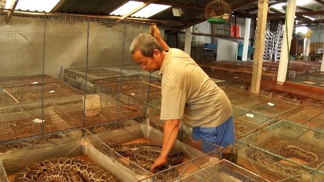 Người nuôi trăn ở đồng bằng sông Cửu Long khó thu hồi vốn