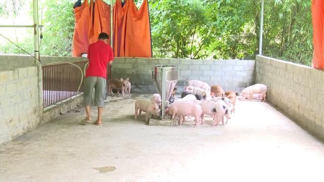 Tin Tức 24h: Người chăn nuôi Bắc Cạn lao đao vì lợn mất giá