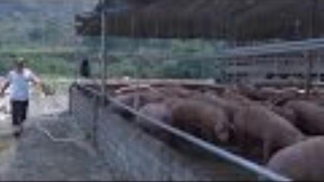 Lai Châu: Nguy cơ ô nhiễm môi trường và dịch bệnh từ các điểm tập kết lợn