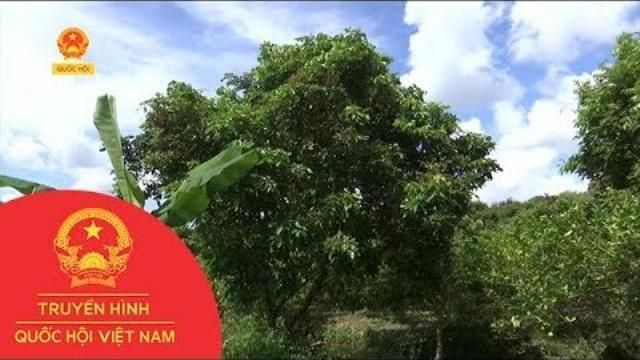 Cần Thơ: Tái xuất dịch bệnh chổi rồng trên cây nhãn | Thời Sự | THQHVN