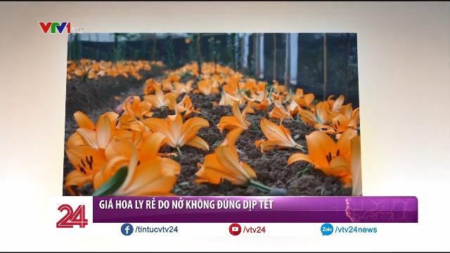 Giá Hoa Ly rẻ do nở không đúng dịp Tết - Tin Tức VTV24