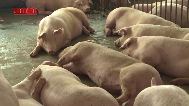 Tin Tức 24h Mới Nhất Hôm Nay: Tìm giải pháp giải cứu giá lợn