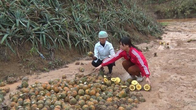 Hàng chục héc ta dứa của người dân Lào Cai chết bất thường