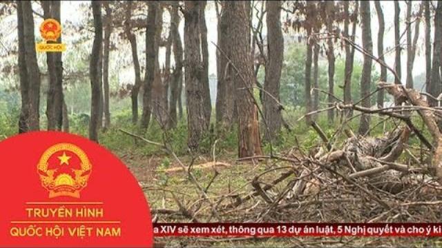 Gia Lai: Rừng thông chết bất thường do bị đầu độc | Thời Sự | THQHVN