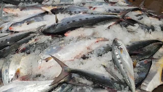 Tin tức 24h: Ngư dân Quảng Trị trúng đậm cá bè quỵt