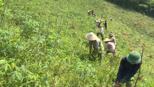 Phóng sự Việt Nam mới nhất 2017: Đi tìm lời giải cho cây sắn