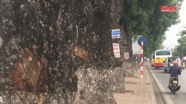 Công an vào cuộc vụ hàng loạt cây xà cừ bị đục khoét trên đường Láng