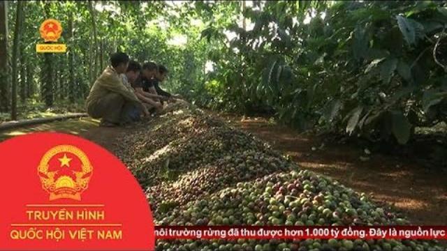Đắk Lắk: Nông dân hướng tới sản xuất cà phê sạch chất lượng
