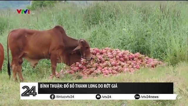 Bình Thuận: Thanh long đổ cho bò, cho gà ăn