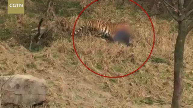 Bị hổ vồ chết vì trèo tường để trốn vé vào vườn thú
