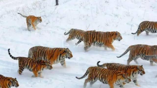 Trại vỗ béo hổ ở Trung Quốc