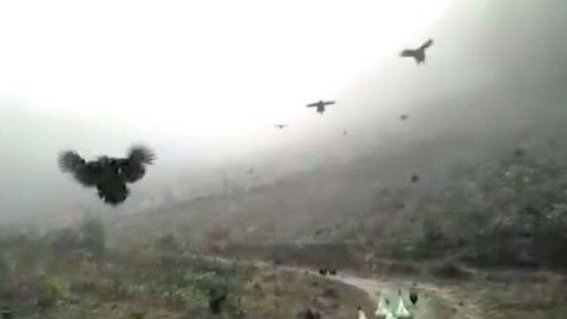 Đàn gà biết bay đông như châu chấu - Chickens can fly