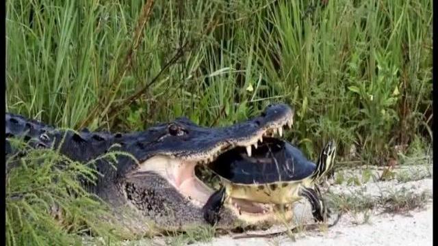 Cận cảnh cá sấu tham lam nuốt chửng con rùa bị nghẹn chết lăn quay