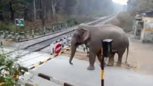 Voi dùng vòi nhấc thanh chắn băng qua đường tàu ở Ấn Độ