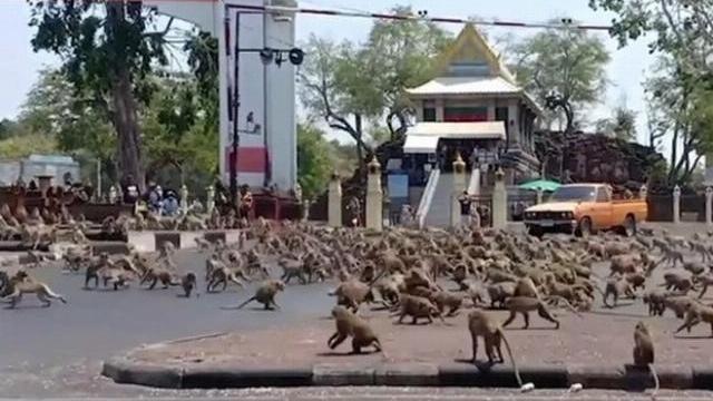 Hàng trăm con khỉ đói làm loạn trên đường phố Thái Lan
