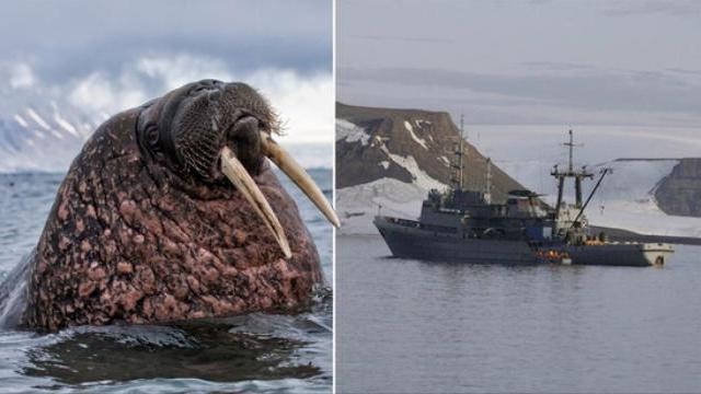 Tàu Hải quân Nga ở Bắc Cực bị hải mã đâm chìm