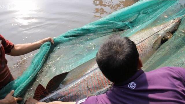 Nông dân miền Tây bắt được cá hải tượng 150 kg