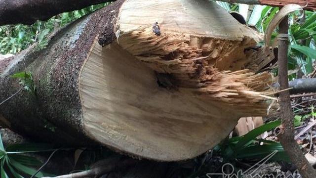Tan hoang rừng phòng hộ A Lưới Cây xẻ tại chỗ, gỗ nằm ngổn ngang