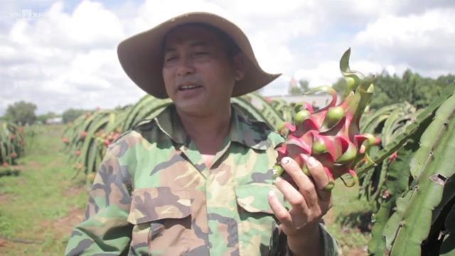 Nông dân trồng thanh long ở Bà Rịa Vũng Tàu lo phải hái bỏ trái