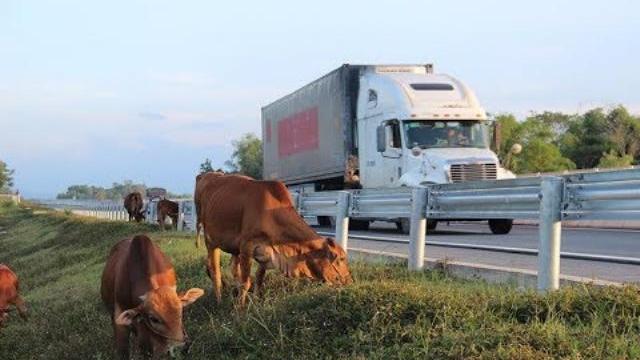 Choáng cảnh thả bò trên cao tốc Đà Nẵng-Quảng Ngãi