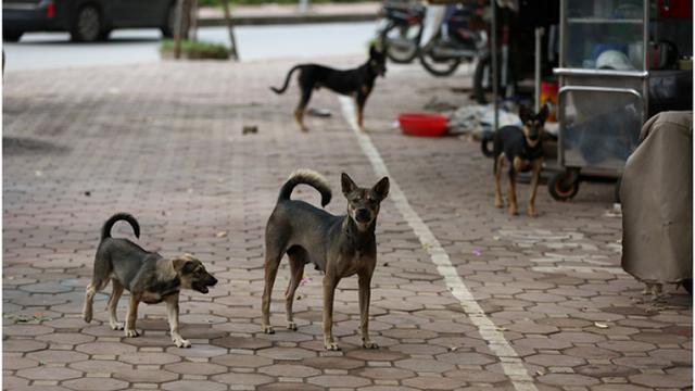 Một ngày làm việc của đội bắt chó thả rông ở Hà Nội