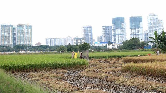 Làm ruộng giữa Sài Gòn nhộn nhịp