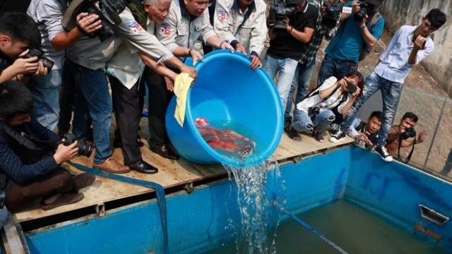 Đàn cá Koi Nhật Bản bơi tung tăng trên sông Tô Lịch ngày nắng nóng