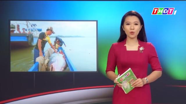 Ngư dân An Giang bắt được cá tra dầu nặng 230kg, bán 200.000 đồng/kg