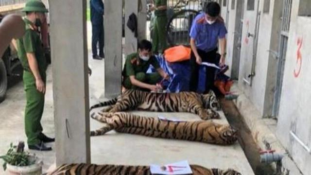 Công an Nghệ An phát hiện 17 con hổ bị nuôi nhốt trái phép trong nhà dân